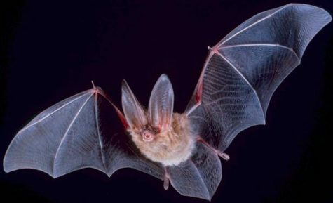 Fly, Baby, Fly! The Science Behind Bat Flight