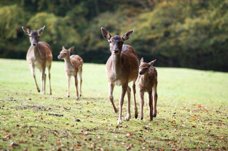WFU+research+investigates+NC+deer+overpopulation