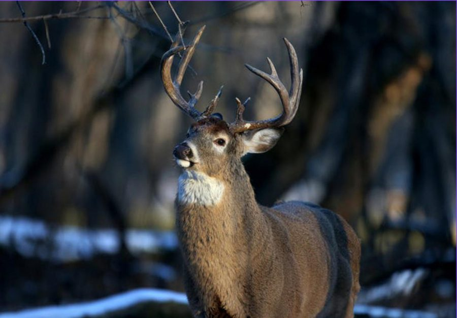 The white-tail deer population in North Carolina is reaching all-time highs because they are not hunted in protected areas of the state (David Joles/TNS)