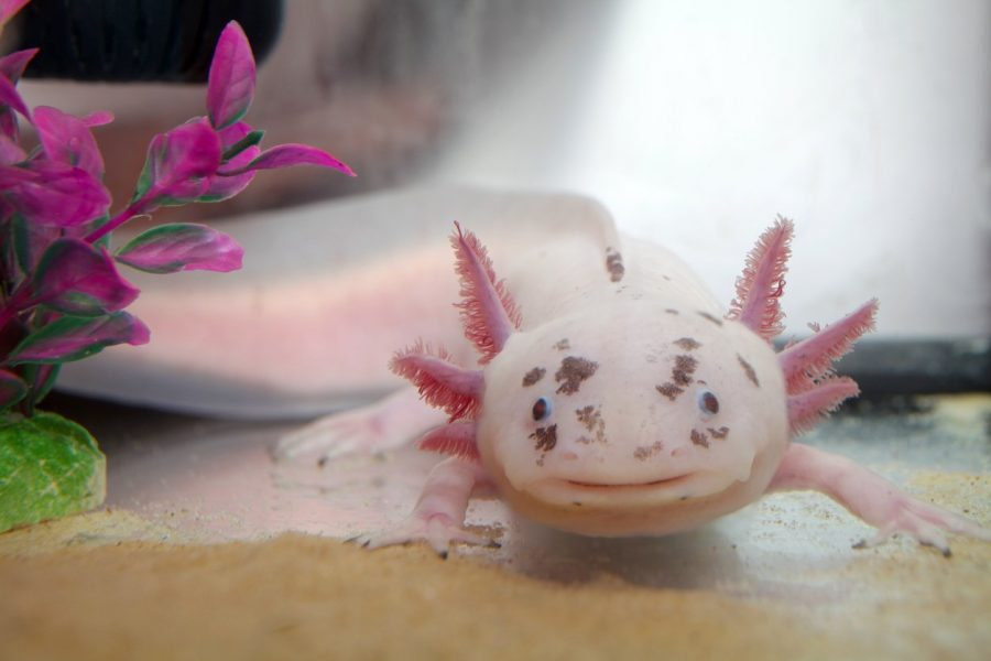 Dr. Currie's research, which centers on the genome of Mexican axolotls (Anvystoma mexicana), and is investigating the secret of their strange regeneration abilities.